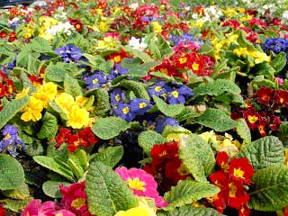http://12dim-kater.pie.sch.gr/garden/img/nov/primoula.jpg